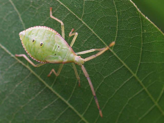 P1160187ホシハラビロヘリカメムシ幼虫-SP-t3200-s640w