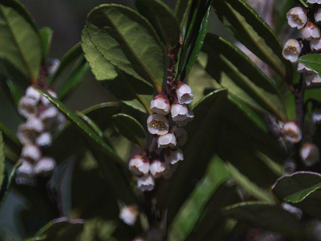 椀状の白い花