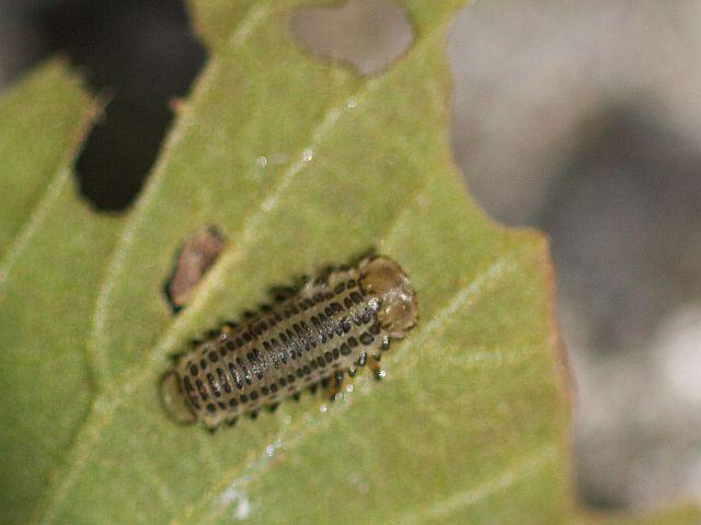 サンゴジュハムシ幼虫