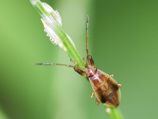 P1230993ヒゲナガカメムシ幼虫-SP-t1600w-s