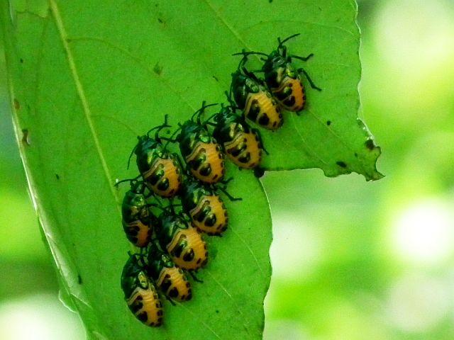 SCF9128オオキンカメムシ幼虫-gimp-t1200w-s