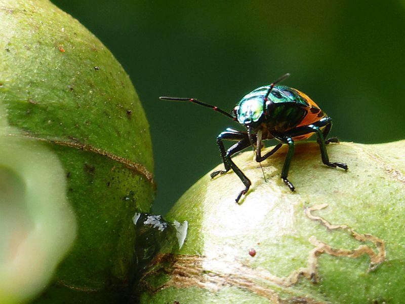 P1230309アブラギリの実から吸汁するオオキンカメムシの幼虫-SP-s800